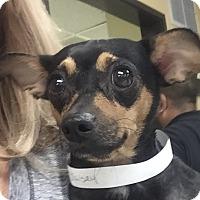Adopt A Pet :: Bailey - San Marcos, CA