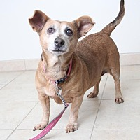 Dachshund Mix Dog for adoption in Eden Prairie, Minnesota - Gidget *Senior Adoptable*  D160673