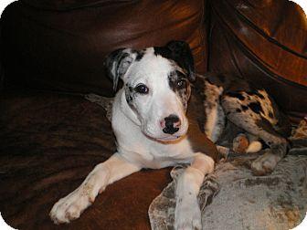Catahoula Leopard Dog/Hound (Unknown Type) Mix Puppy for adoption in Apex, North Carolina - Tess