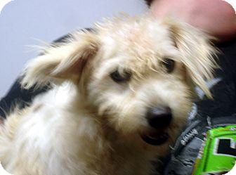 Schnauzer (Miniature)/Poodle (Miniature) Mix Dog for adoption in Greencastle, North Carolina - Quinton