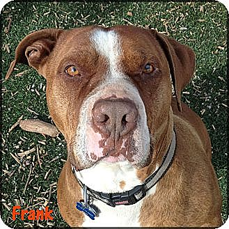 American Staffordshire Terrier/Pit Bull Terrier Mix Dog for adoption in West Hills, California - Frank