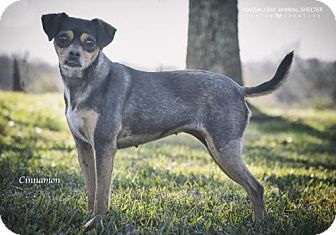 Chihuahua Mix Dog for adoption in Nassau Bay, Texas - Cinnamon