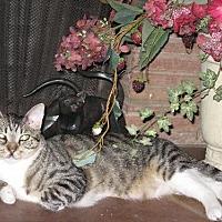 Adopt A Pet :: Vinnie - Fullerton, CA