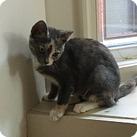 Adopt A Pet :: Ivy - Colmar, PA