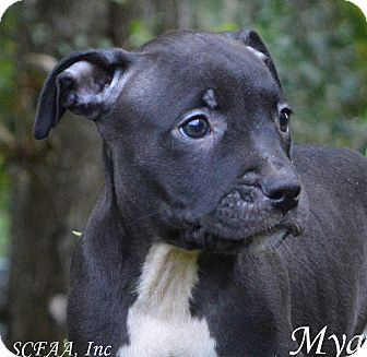 American Staffordshire Terrier Puppy for adoption in Lake Pansoffkee, Florida - Mya