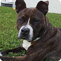 Adopt A Pet :: Tazzy - Elderton, PA