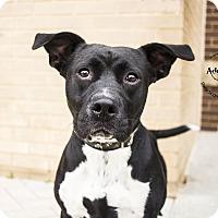 Labrador Retriever/Pit Bull Terrier Mix Dog for adoption in Mooresville, North Carolina - Missy Elliott
