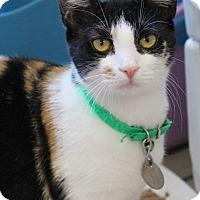 Adopt A Pet :: Cali - Bradenton, FL
