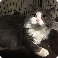 Domestic Longhair Cat for adoption in Phoenix, Arizona - Aurora