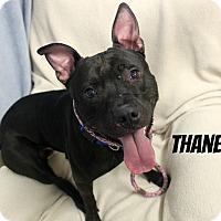 Adopt A Pet :: Thane - Melbourne, KY