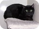 Domestic Shorthair Cat for adoption in West Dundee, Illinois - Pablo
