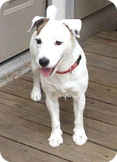 Jack Russell Terrier Dog for adoption in Houston, Texas - Coco in Houston