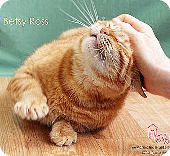 Domestic Shorthair Cat for adoption in St Louis, Missouri - Betsy Ross