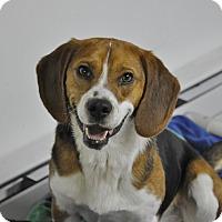 Adopt A Pet :: Domino - Brooklyn, NY