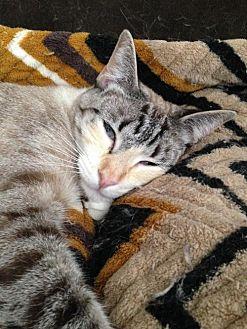 Siamese Kitten for adoption in Austin, Texas - Mirage