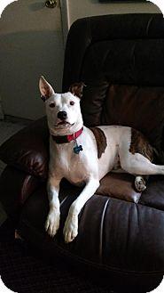 Terrier (Unknown Type, Medium) Mix Dog for adoption in Doylestown, Pennsylvania - Billy