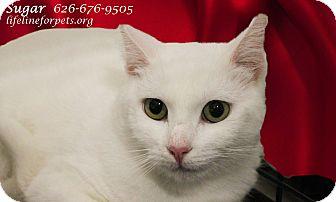 Domestic Shorthair Cat for adoption in Monrovia, California - Super SUGAR