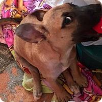 Adopt A Pet :: Gsp pup - Pompton Lakes, NJ