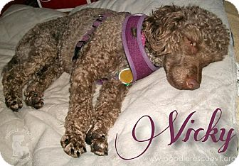 Poodle (Miniature) Mix Dog for adoption in Essex Junction, Vermont - Vicky