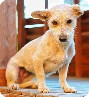 Terrier (Unknown Type, Small) Mix Dog for adoption in Santa Monica, California - YOSHIE