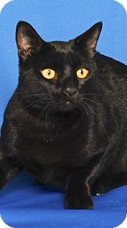 Domestic Shorthair Cat for adoption in Gloucester, Virginia - BRUTUS