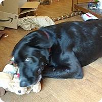 Adopt A Pet :: Bear - Warrenton, NC