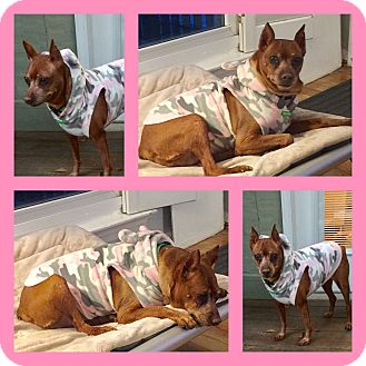 Miniature Pinscher Mix Dog for adoption in Mount Pleasant, South Carolina - Mavis