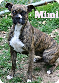 American Pit Bull Terrier Mix Dog for adoption in Richland Hills, Texas - Mimi