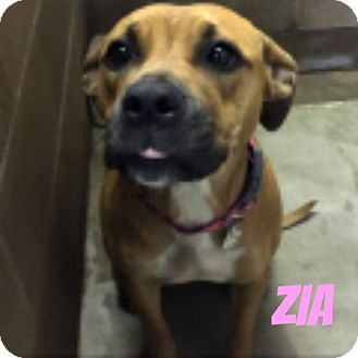 Boxer Mix Dog for adoption in Middleton, Wisconsin - Zia