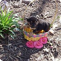 Adopt A Pet :: Libra - Raleigh, NC