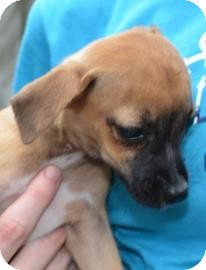 Chihuahua Mix Puppy for adoption in Gainesville, Florida - Biscuit