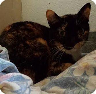 Domestic Shorthair Cat for adoption in Westminster, California - Kinkajou