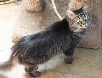 Domestic Longhair Cat for adoption in Memphis, Tennessee - Lucy