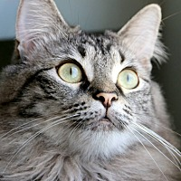 Domestic Mediumhair Cat for adoption in Los Angeles, California - Sarah