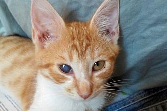 Domestic Shorthair Cat for adoption in Durham, North Carolina - Leonidas