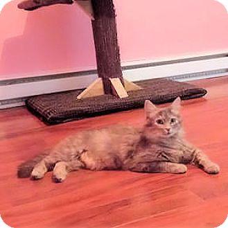Domestic Shorthair Cat for adoption in Verdun, Quebec - Gaia