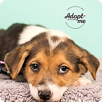 Australian Shepherd/Beagle Mix Puppy for adoption in Cincinnati, Ohio - Kana