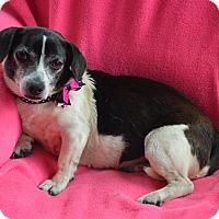 Adopt A Pet :: Daisy - Westport, CT