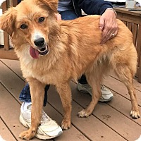 Australian Shepherd/Golden Retriever Mix Dog for adoption in Potomac, Maryland - Luna