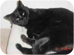 Domestic Shorthair Cat for adoption in Pasadena, California - Christine