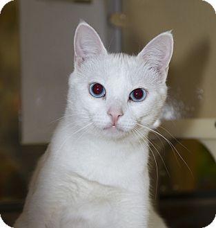 Domestic Shorthair Cat for adoption in Farmingdale, New York - Serafina