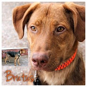 German Shepherd Dog/Vizsla Mix Dog for adoption in Garden City, Michigan - Brutus