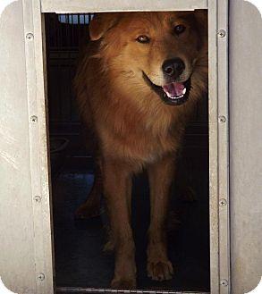 Chow Chow/Golden Retriever Mix Dog for adoption in San Diego, California - Benjamin Urgent