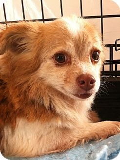 Chihuahua Dog for adoption in Gainesville, Florida - Heidi