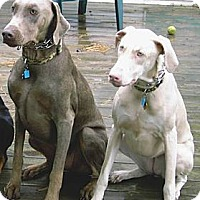 Adopt A Pet :: Moose - Allegan, MI