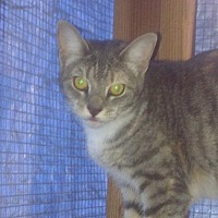 Domestic Shorthair Cat for adoption in Los Angeles, California - Diane