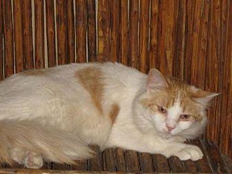 Domestic Shorthair Cat for adoption in Glendale, Arizona - Whitman