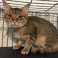 Domestic Shorthair Cat for adoption in East Stroudsburg, Pennsylvania - Tigger