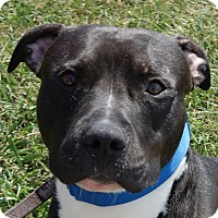 Pit Bull Terrier Mix Dog for adoption in Monroe, Michigan - Will