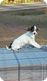 Fox Terrier (Wirehaired) Mix Puppy for adoption in Carthage, North Carolina - Lon Chaney